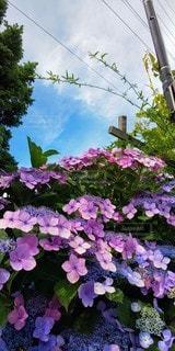 空,花,屋外,白,雲,あじさい,青,紫,紫陽花,梅雨,6月,草木,ガーデン