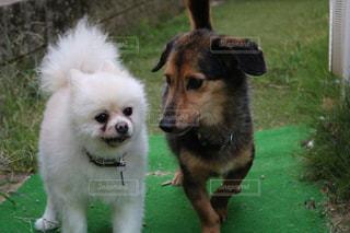 友だち,犬,動物,ポメラニアン,かわいい,草,仲良し,お年寄り,雑種,mix犬,二頭,会話,内緒話,高齢犬,ナイショ,シロポメ