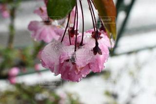 花,春,雪,ピンク,草木