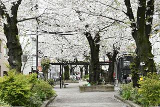 花,春,桜,屋外,桜並木,樹木,通り,草木
