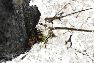花,春,桜,屋外,樹木,草木