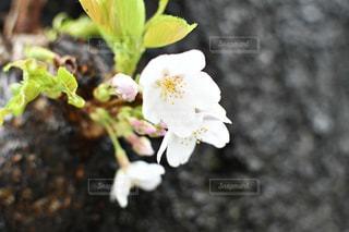 花,春,桜,屋外,葉,草木,ブロッサム