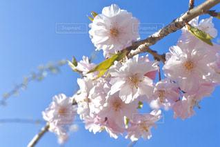 空,花,春,桜,木,青い空,花見,鮮やか,サクラ,お花見,イベント,新学期,草木,桜の花,さくら,ブルーム,ブロッサム