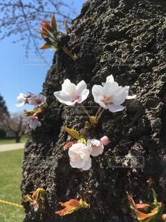 花,桜,屋外,樹木,ブロッサム