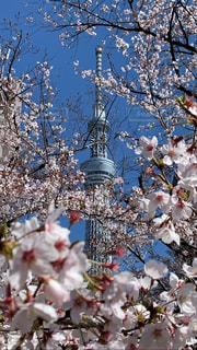 空,花,春,桜,屋外,青い空,スカイツリー,樹木,桜の花,さくら,ブロッサム