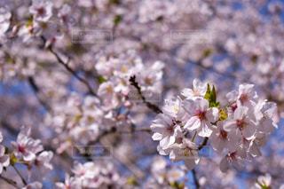 花,春,屋外,桜の花,さくら,ブロッサム