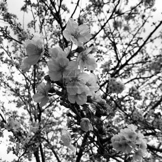 花,春,屋外,綺麗,美しい,樹木,モノクローム,コロナ,草木,桜の花,ブロッサム,iPhone8,黒と白,桜の華