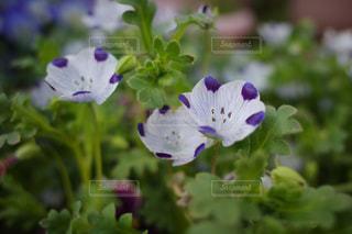 花,屋外,かわいい,お花,ネモフィラ,素敵,コンデジ,フリーザ,RICOH,GR3