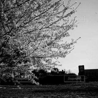 「桜、サクラ、さくら」の写真・画像素材[3081303]