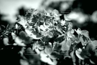 紫陽花の写真・画像素材[3343196]
