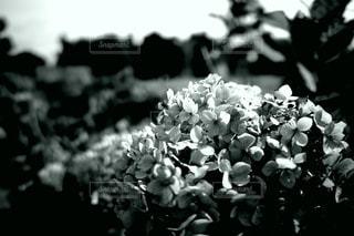 紫陽花の写真・画像素材[3343195]