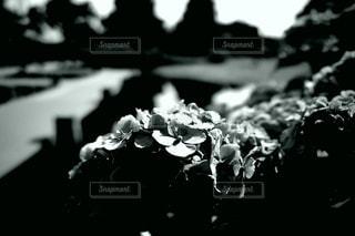 紫陽花の写真・画像素材[3378748]
