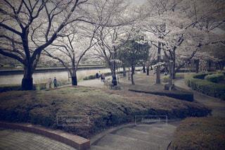 大きな桜で彩る近所の公園の写真・画像素材[4294340]