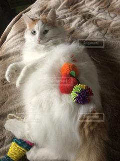 家族,猫,動物,おもちゃ,モカ,Mokajeno