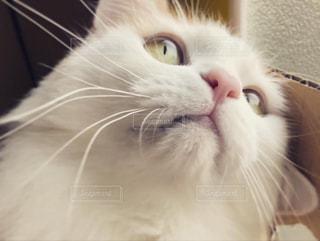 猫,動物,屋内,かわいい,見つめる,モカ,Mokajeno