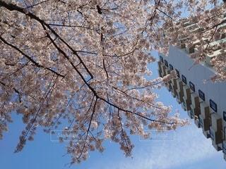 花,青い空,樹木,さくら