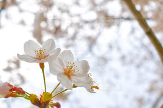 自然,花,春,桜,ピンク,白,花見,お花見,日本,flower,Nikon,草木,さくら,cherryblossom,NIKONd5600