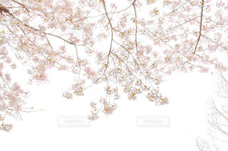 白んだ桜の写真・画像素材[3060677]