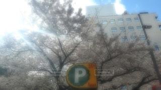 空,桜,雪,屋外,標識,樹木
