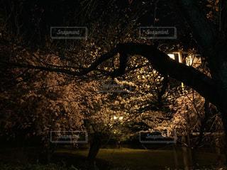 春,桜,夜,夜景,木,暗い,花見,夜桜,樹木,お花見,イベント,東京都