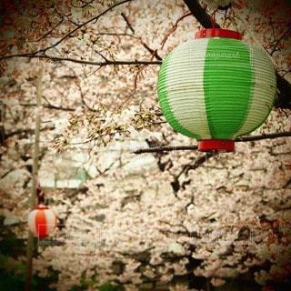 春,桜,屋外,ピンク,花見,提灯
