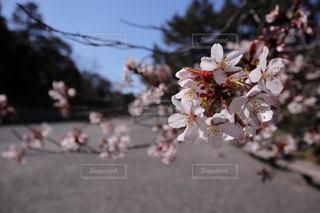 公園,花,春,桜,屋外,京都,樹木,景観,桜の花,御苑,開花