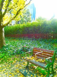 銀杏並木と落ち葉とベンチの写真・画像素材[869497]