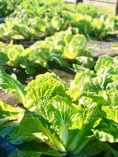 家庭菜園でエコ生活の写真・画像素材[965500]