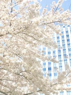 都心のビルと桜の写真・画像素材[1122195]