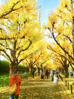 新宿御苑の銀杏並木は紅葉を楽しむ人々で賑わっていました。の写真・画像素材[1611578]
