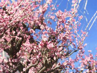 梅の花が咲き誇っておりました。の写真・画像素材[1793136]