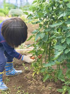 ブチトマトの収穫。うまくできるかな?の写真・画像素材[2812148]