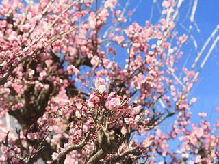 梅の花と青空のコントラストの写真・画像素材[3014328]