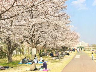 堤防沿いの桜並木でお花見。焦点加工で人物が判定されないようにしています。の写真・画像素材[3038939]