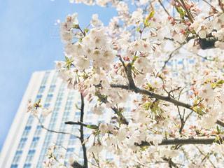 都会のビルと桜の花びらの写真・画像素材[3047565]