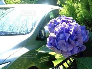 雨上がりの駐車場で見つけた紫陽花の写真・画像素材[3380265]