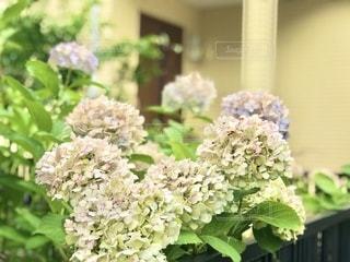 白い紫陽花の写真・画像素材[3384864]