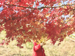 紅葉の葉っぱの写真・画像素材[3798931]