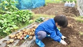 夢中で芋掘りをする子供の写真・画像素材[4065038]