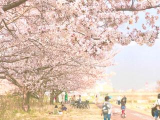 多摩川の堤防沿いで桜並木を観ながら散歩。焦点加工で人物が判定されないようにしています。の写真・画像素材[4212617]
