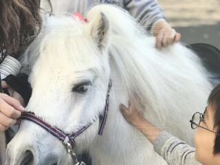 白馬のフワフワの毛並みに触れ合うの写真・画像素材[4255771]
