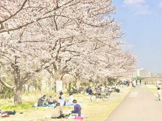 堤防沿い、満開の桜並木を眺めて歩くの写真・画像素材[4273161]