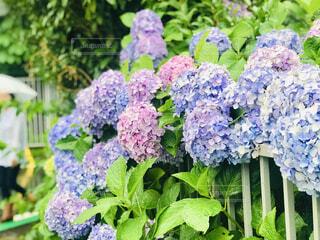梅雨の雨と紫陽花の写真・画像素材[4557041]