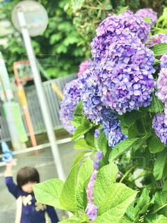 雨と遊ぶ子供と紫陽花の写真・画像素材[4557090]