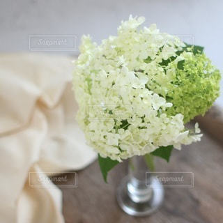 人気の紫陽花アナベルを飾って楽しむの写真・画像素材[3375146]