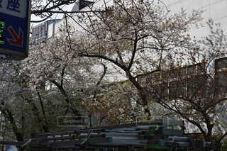 花,春,屋外,樹木,さくら