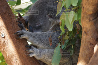 動物,屋外,かわいい,樹木,オーストラリア,睡眠,コアラ