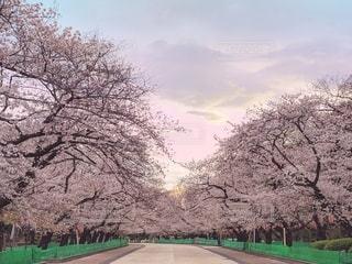 空,公園,花,春,桜,屋外,東京,上野,桜の花,クラウド,さくら,ブロッサム