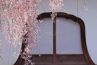 さくらのカーテンの写真・画像素材[3064002]