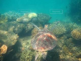 自然,海,動物,魚,屋外,サンゴ,青,泳ぐ,水中,カメ,ウミガメ,ダイビング,サンゴ礁,珊瑚,爬虫類,亀,海ガメ,グレートバリアリーフ,海底,蒼,コーラル,アオウミガメ
